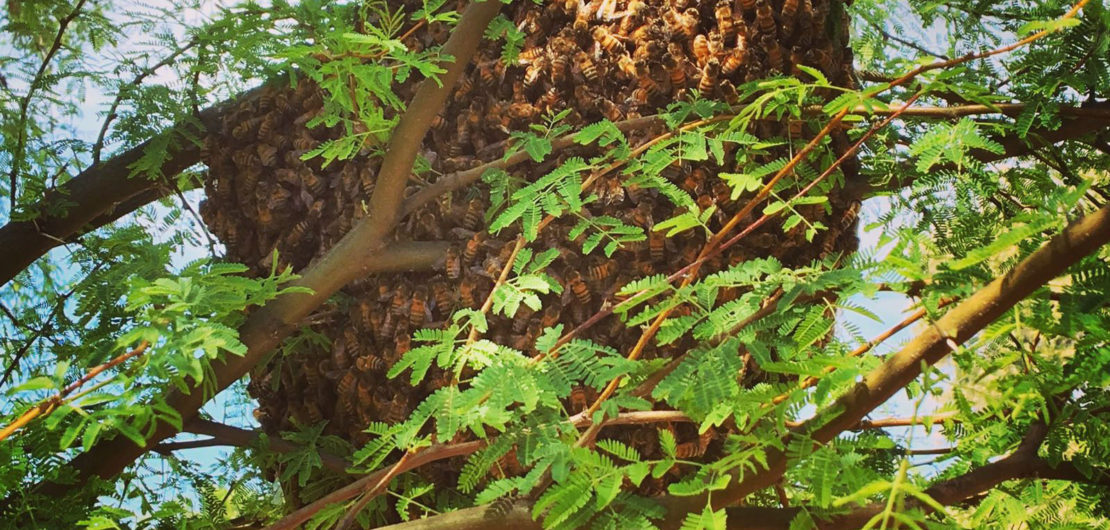 A swarm on an Acacia tree